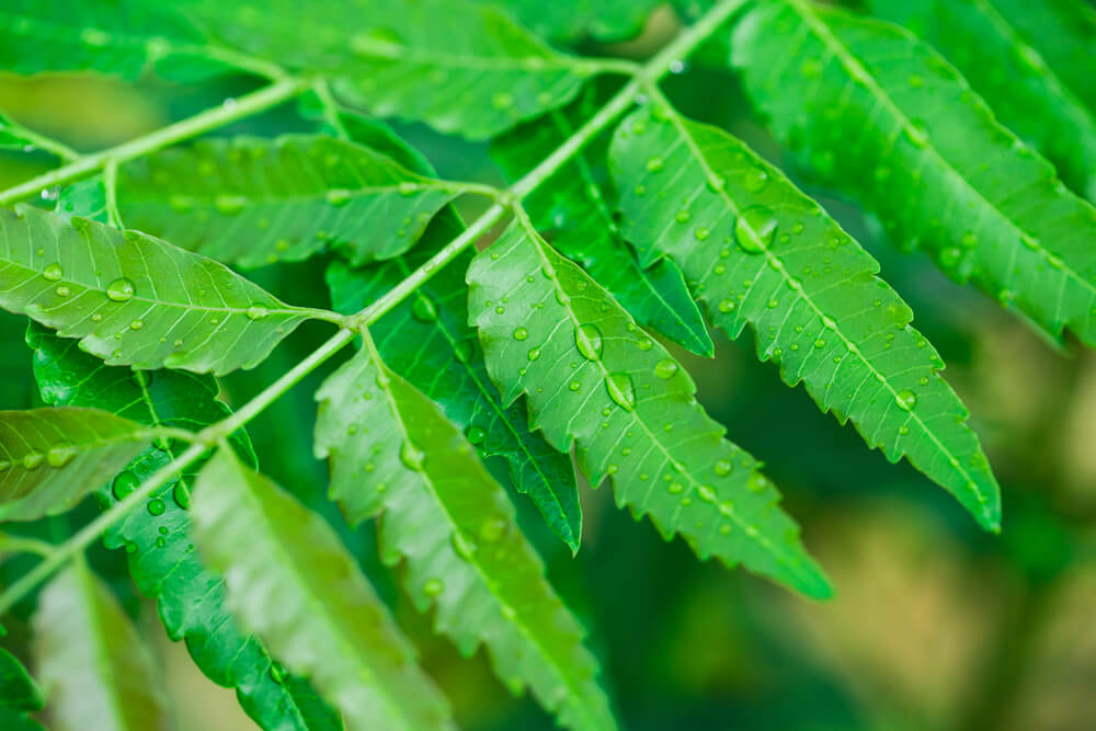 Neem Herbs for Toothache