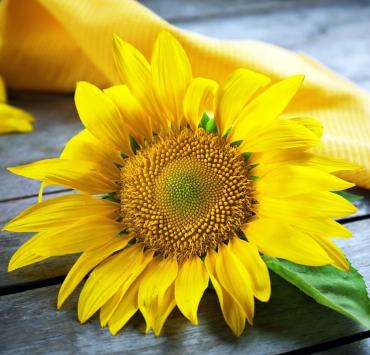 sunflower lecithin benefits..