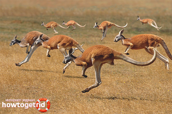 Cuáles Son Los Enemigos Del Canguro Dónde Viven Los Canguros Dónde Viven Los Canguros