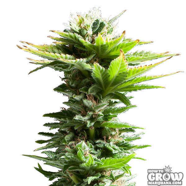 Hydroponic Grow Box Weed
