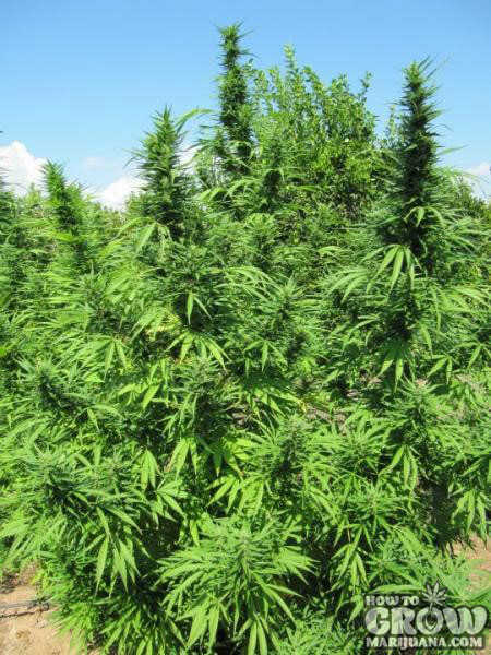 Which Outdoor Cannabis Seeds For My Climate Outdoor