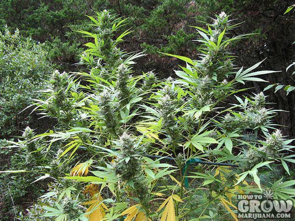 Northern Lights Autoflower Grow