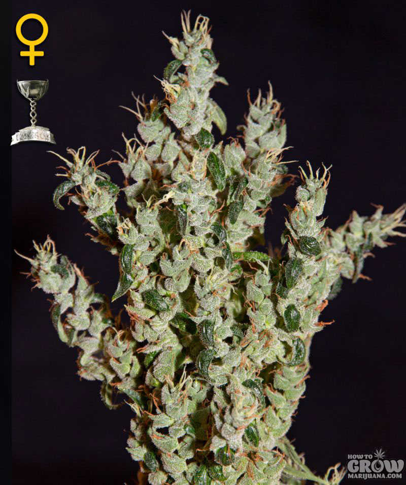 Northern Lights Autoflowering Feminised Seeds
