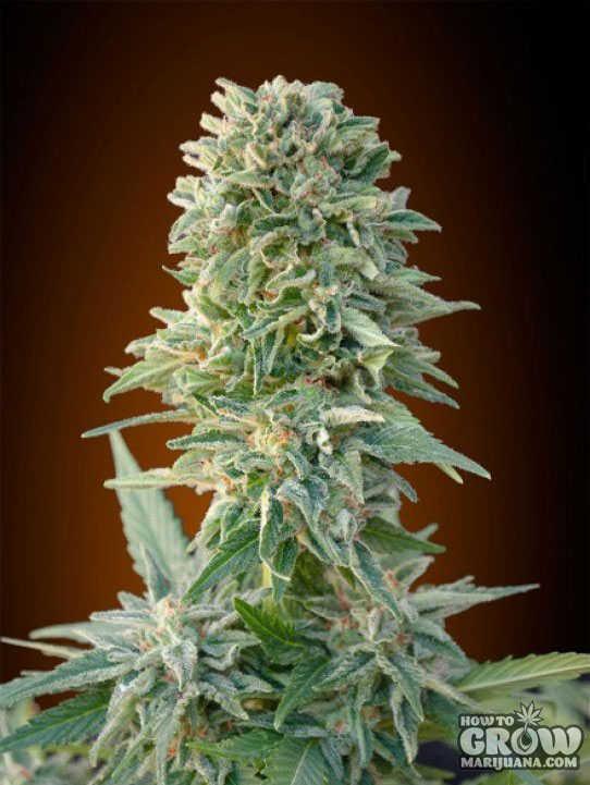Northern Lights Cannabis Indica