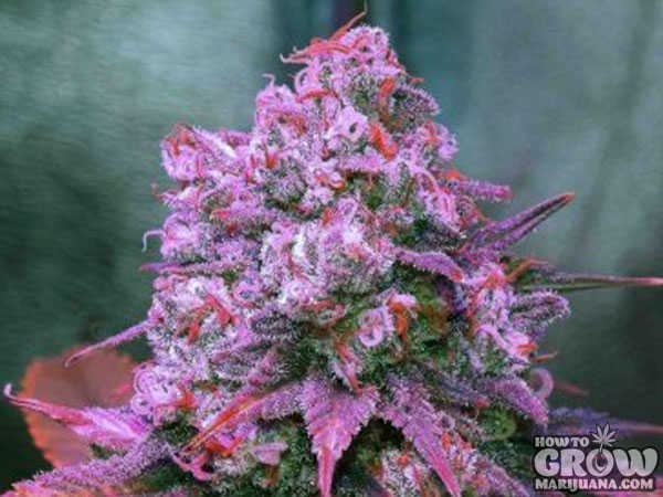 Zamnesia Blue Haze Feminized Seeds
