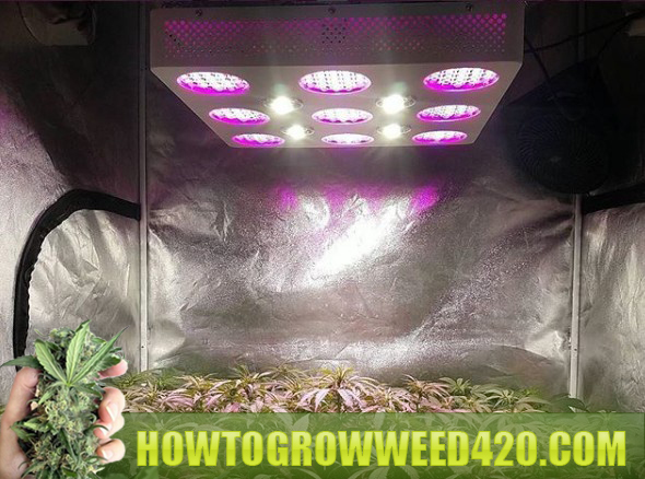 marijuana LED pros and cons for growing indoors