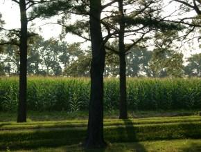 Summer Corn Field in Maryland