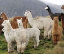 alpacas-inca-food