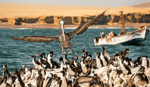 Pelican landing on ballestas islands shore full of penguins