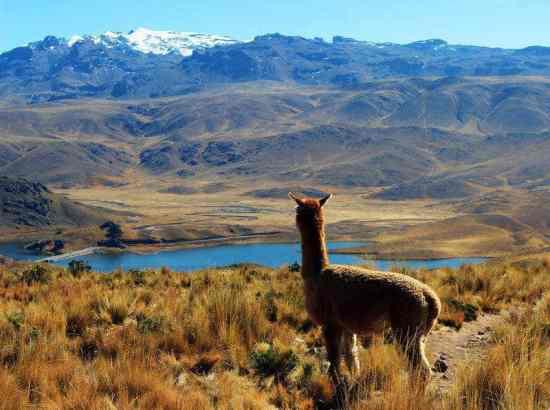 alpaca looking at lake