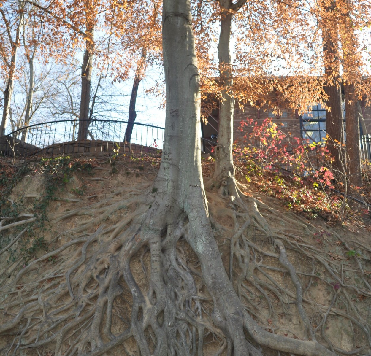Tree roots growing above ground on side of hill
