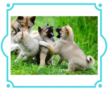 Puppies playing with teeth showing