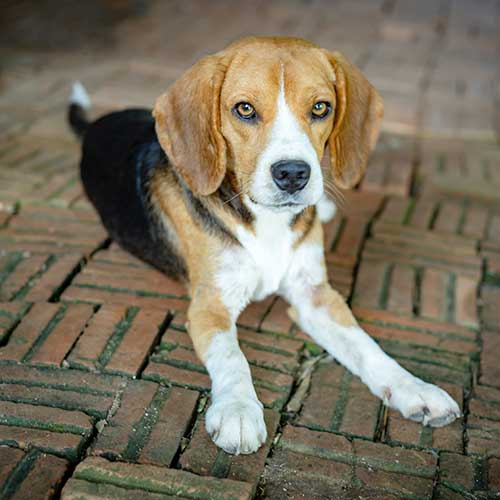 Do Beagles Shed Much?