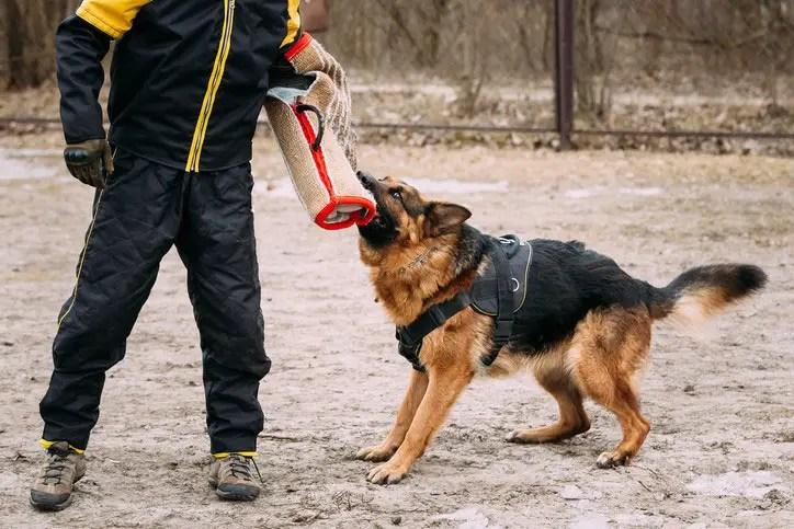 Puppy Training Mix Border Collie Lab