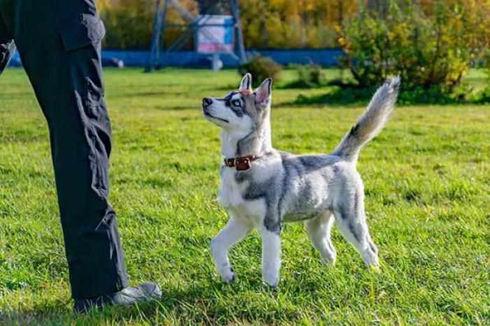 miniature husky puppy