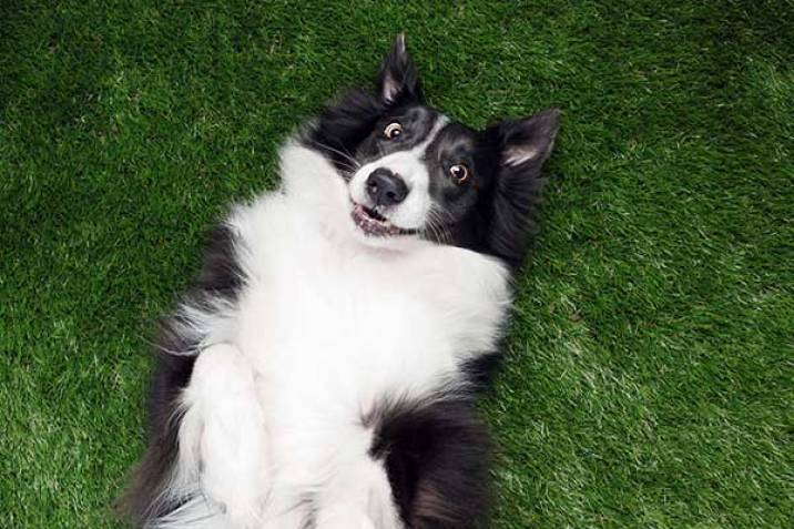 border collie rolling in wet grass