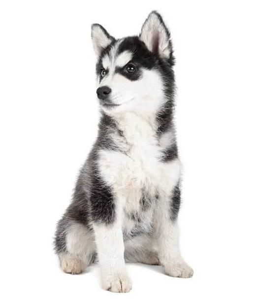 Adorable Siberian Husky Puppy