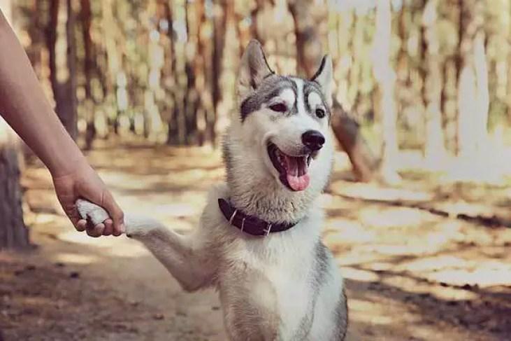 Siberian Husky in the Park