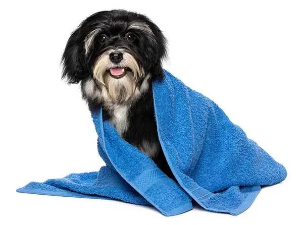 Havanese puppy after bath