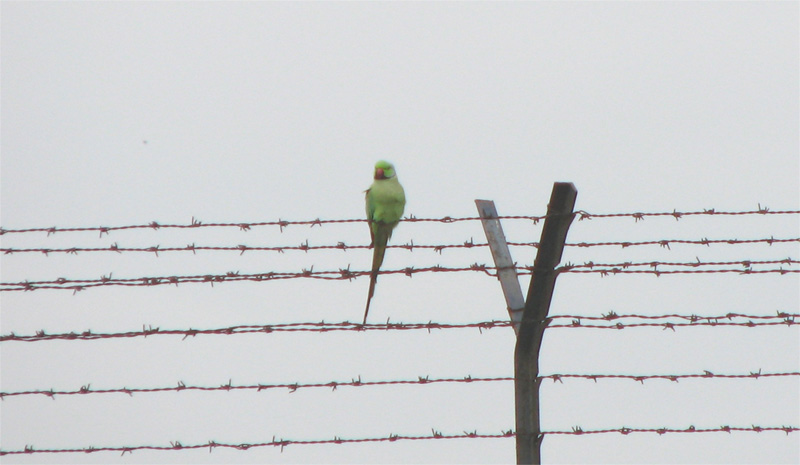 Parakeet on a fence