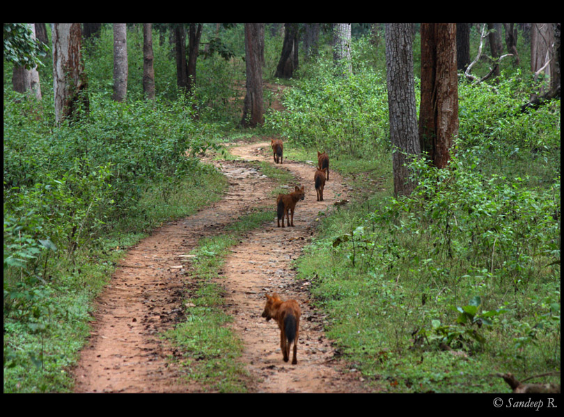 Wild dogs pack - walking in search of food