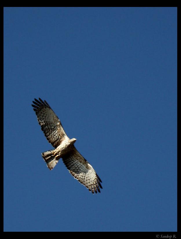 oriental-honey-buzzard-flight