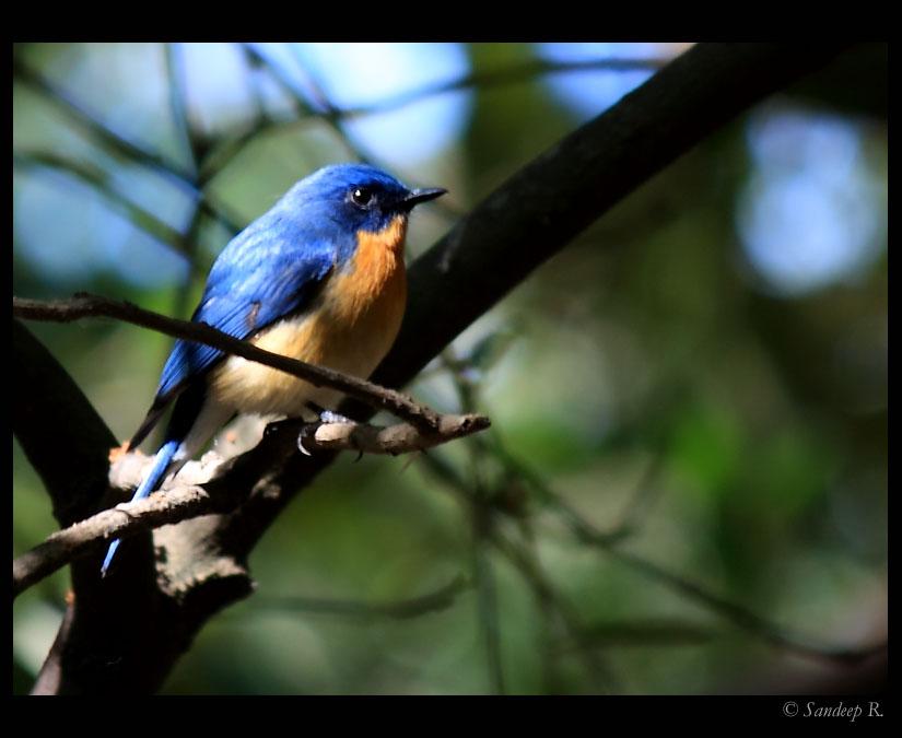 Tickells-blue-flycatcher