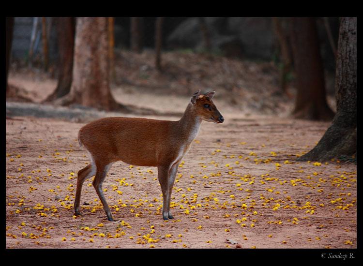 Barking deer AKA muntjac