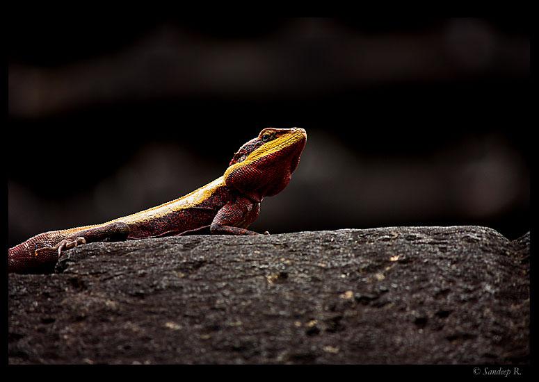 rock-agama-breeding-male