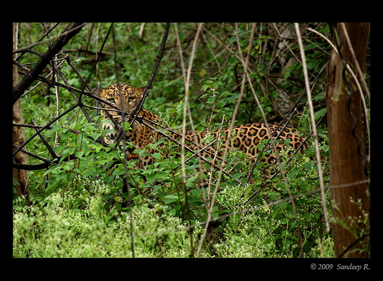 Leopard-Bandipur