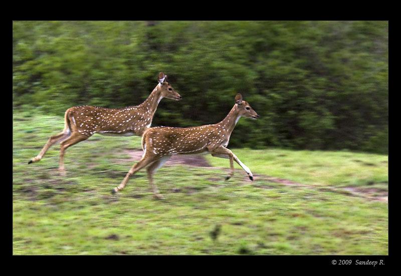 spotted-deer-running