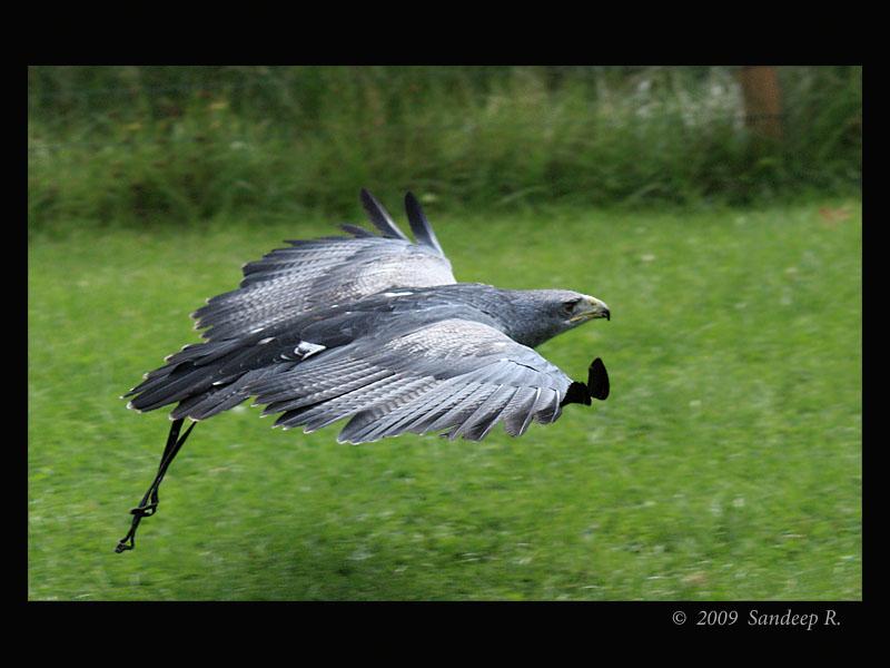 Black-Chested-Buzzard-Eagle
