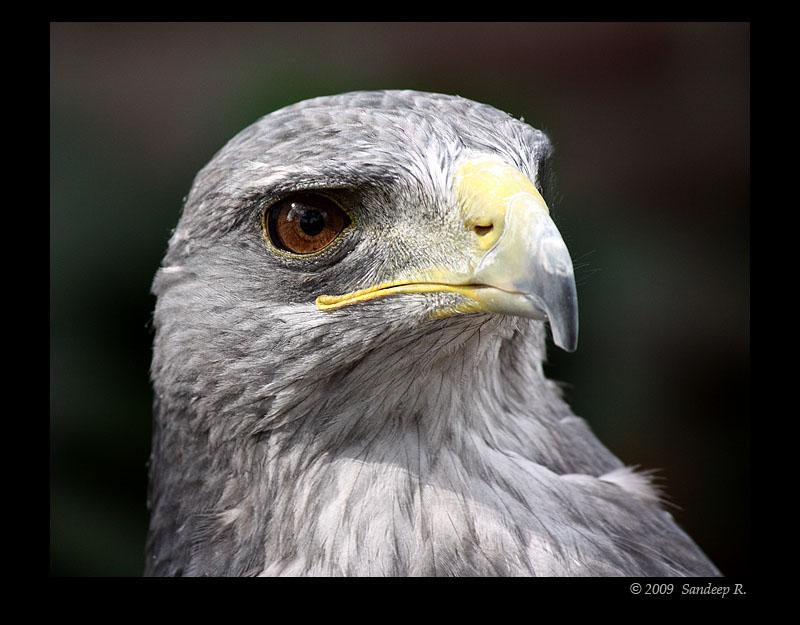 Chilean-Blue-Eagle