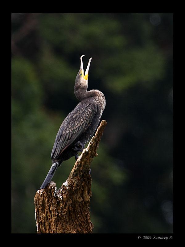 Little-cormorant-kabini