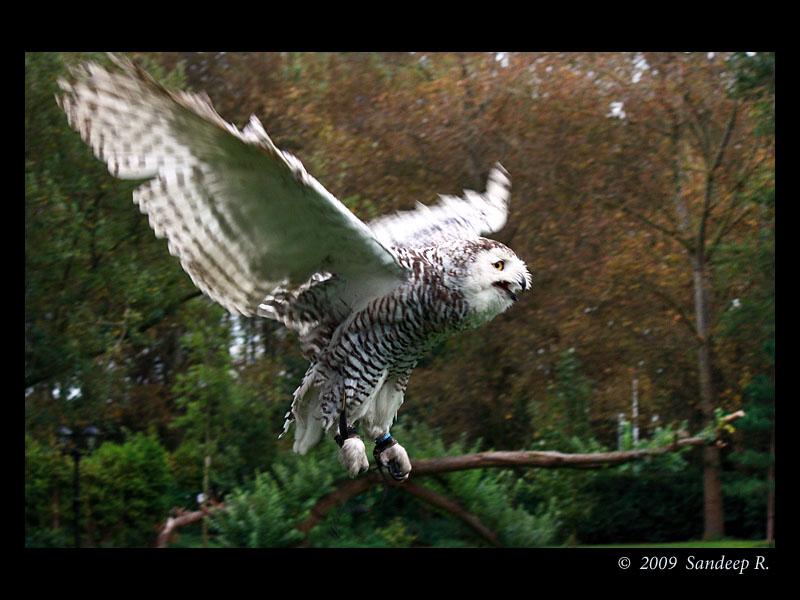 Snow-owl-in-flight