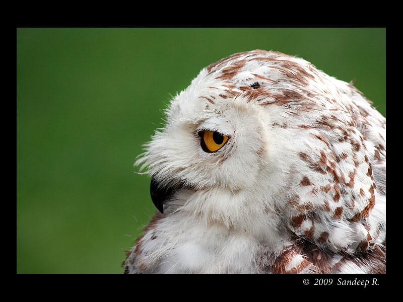 Snow-Owl-Portrait
