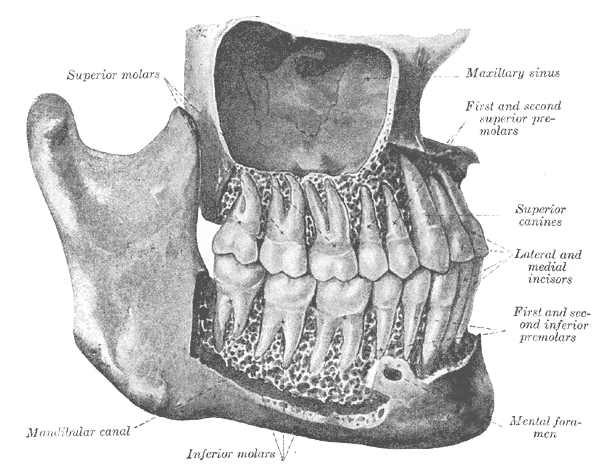 Tooth Names