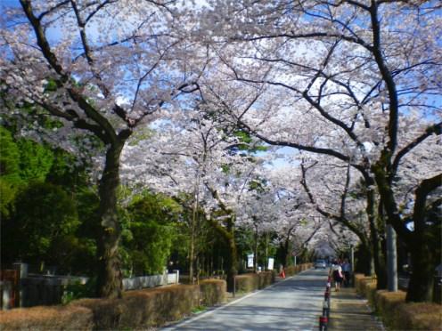 青山霊園 桜
