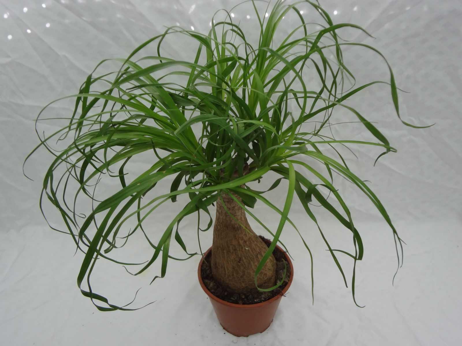 komnatnaya-palma-foto-video-vidy-palm-nazvanie-i-opisanie-rasteniya-14