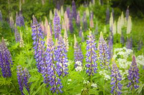 Lupines 2