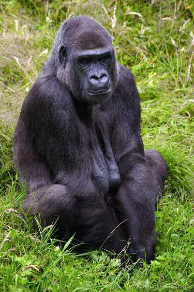 Gorilla Mum