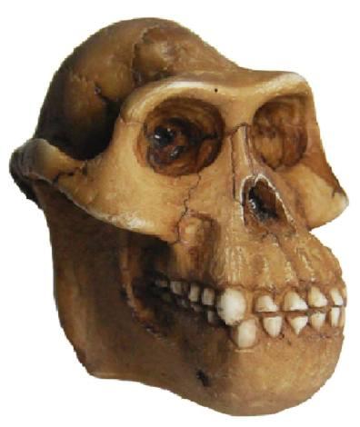 Αυστραλοπίθηκος Afarensis. Αντίγραφο σε κλιμακα 1:3 του Michelangelo Ricci