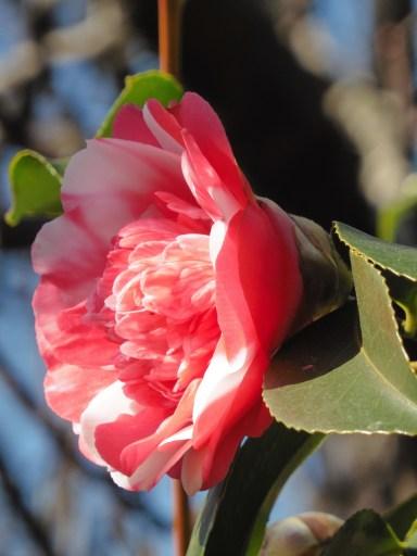 Kamelien - die ersten Frühlingsboten im Ticino
