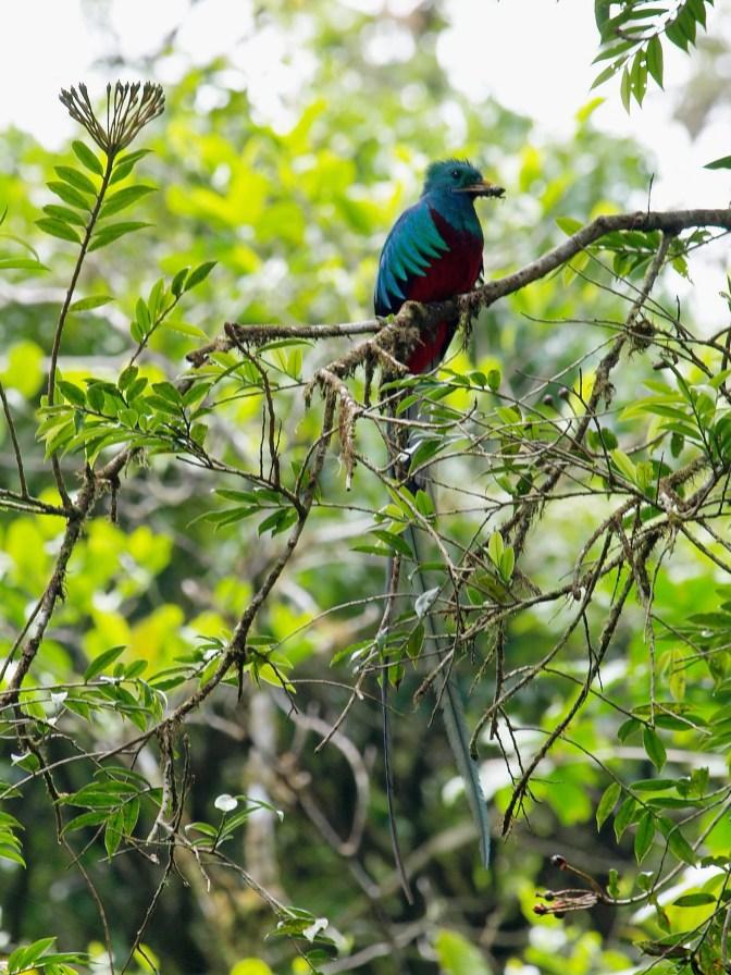 Quetzal der Göttervogel
