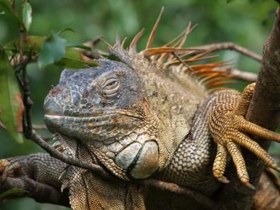 Iguanas faulenzen auf Bäumen