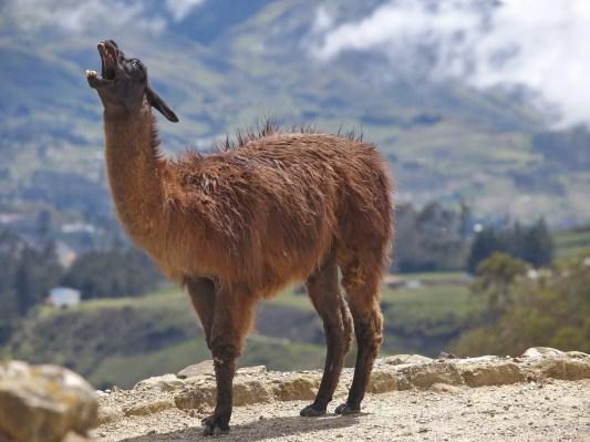 Guanako (Lama)