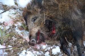 На Волині «накрили» браконьєрів, які вбили 4 кабанів, але кажуть, що «пішли на гриби»