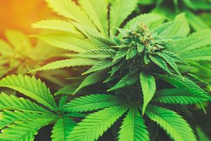 Employers can still enforce drug-free workplace policies, even though marijuana is legal.