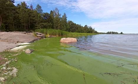 When blue-green algae breaks down, it turns bluish due to algal dye.