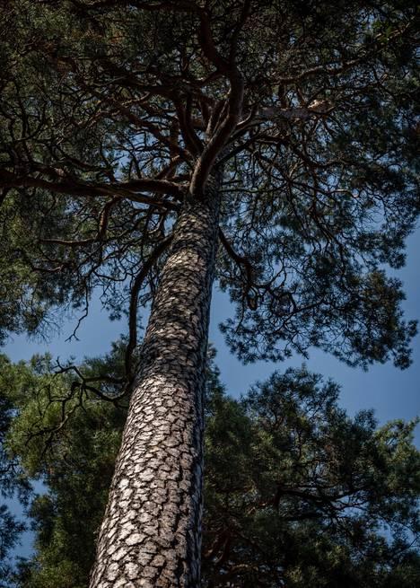 Santahamina has a lot of old shield-pine pines.